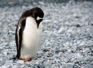 Der Google Pinguin könnte schuld an Ihrem Absturz sein!
